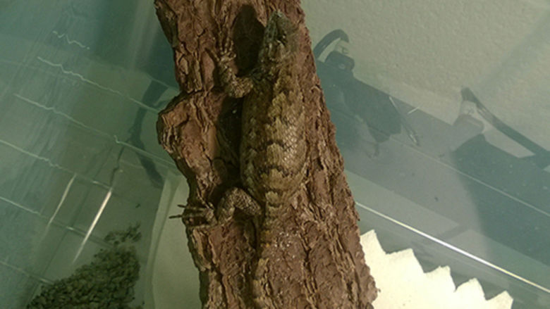 Lizzy the Pennsylvania fence lizard